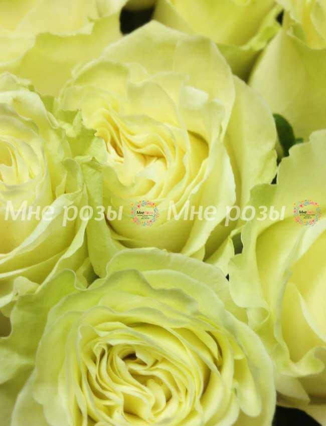 Роза Мондиаль 80см